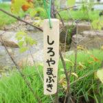 shiroyamabuki